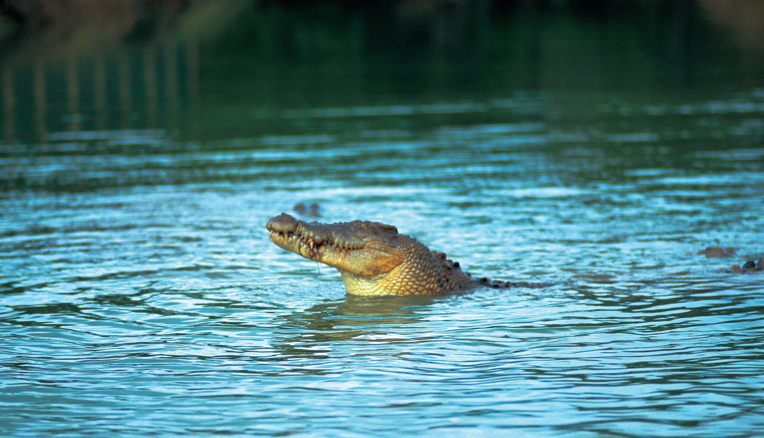 Wild crocodile in river